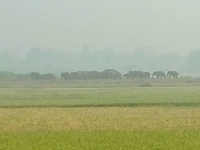 A team of 20 elephants is presently present in the sugarcane field at Kondha Purua in Chendra.