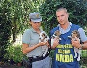 Gli agenti della Forestale con i beagle «sequestrati» (Ansa)