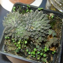 Ultimas especies de cactus identificadas en Cactuseroscom