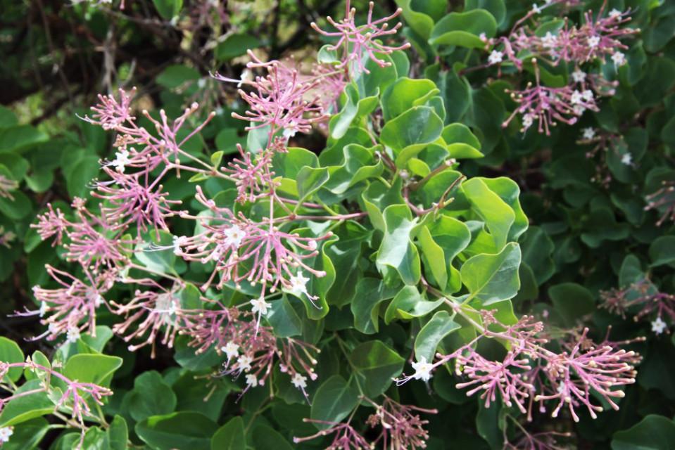 commicarpus macrothamnus