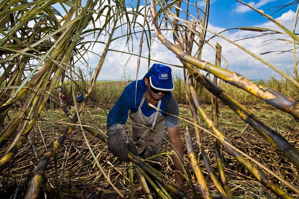 Brasilia Sokeriruokon niittoa.