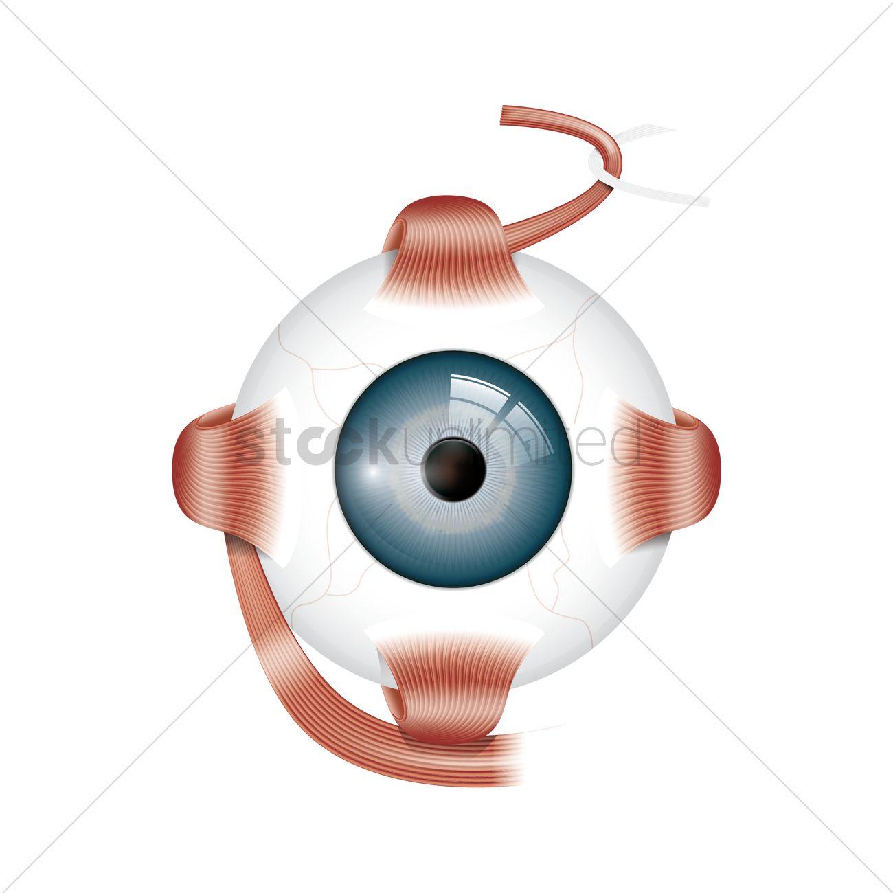 hight resolution of human eye anatomy vector graphic