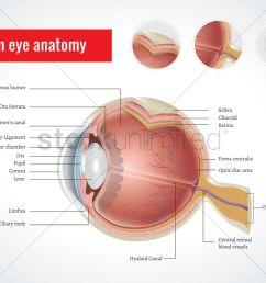 anatomy of human eye vector graphic [ 1300 x 919 Pixel ]