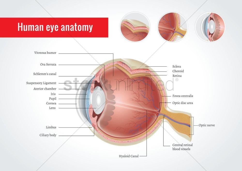 medium resolution of anatomy of human eye vector graphic