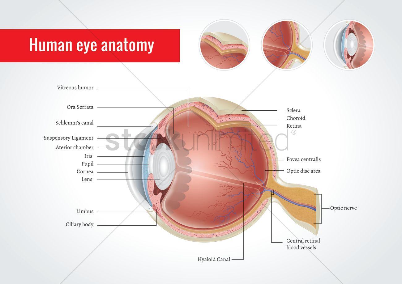 hight resolution of anatomy of human eye vector graphic