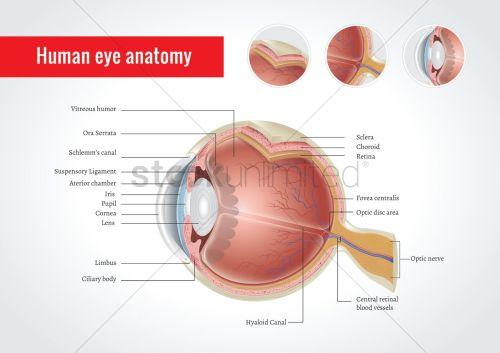 small resolution of anatomy of human eye vector graphic