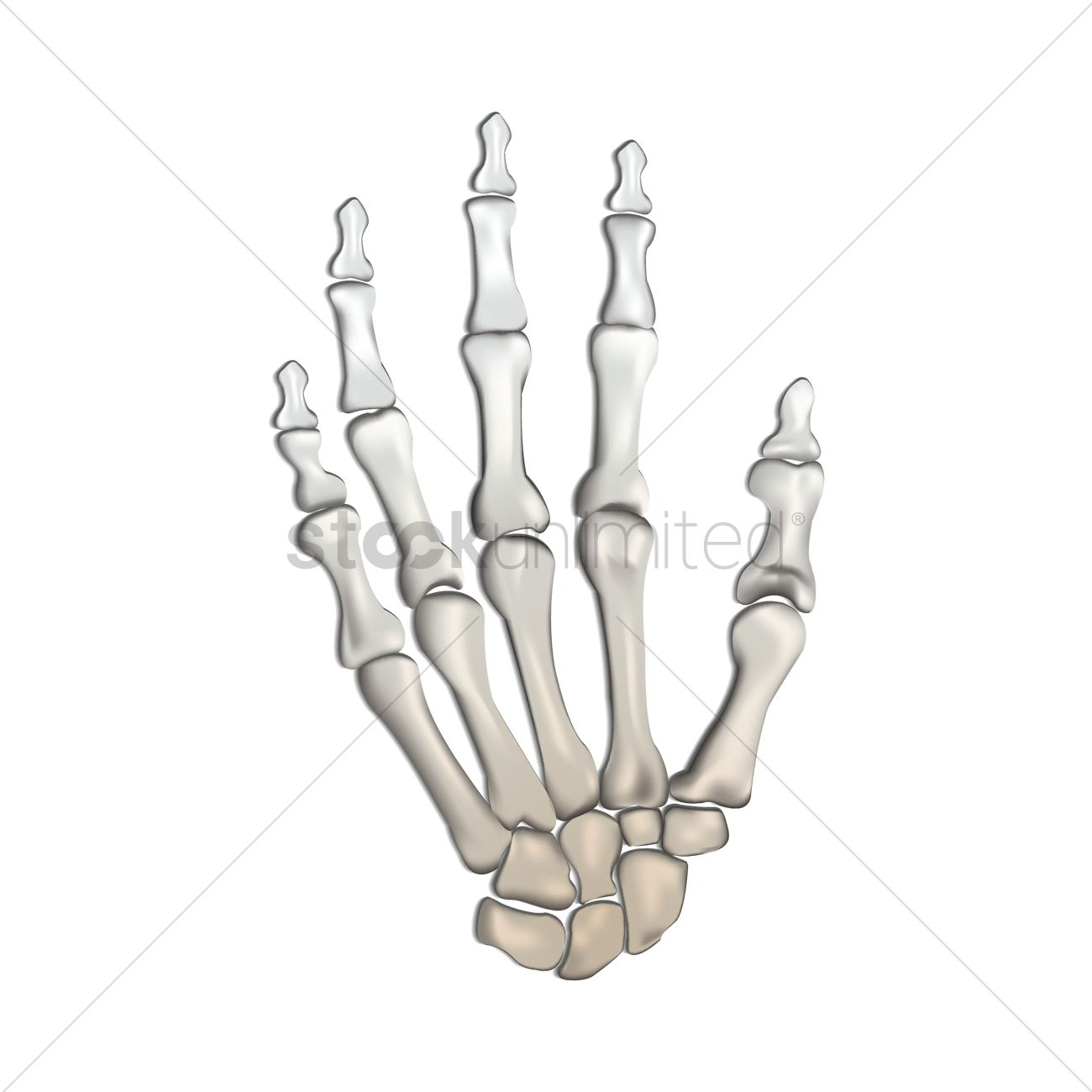wrist and hand unlabeled diagram chicken wing bones of human vector image 1815224 stockunlimited