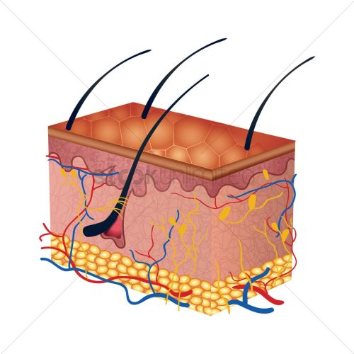 small resolution of cross section of human skin layers vector graphic