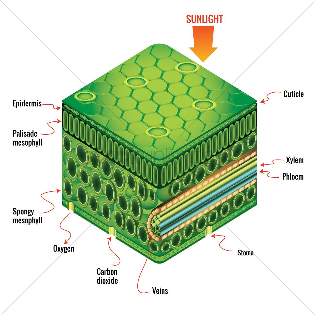palisade cell diagram plant 1000 watt inverter circuit leaf anatomy vector image 1815346 stockunlimited