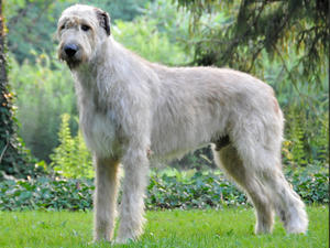 https://i0.wp.com/images.champdogs.net/breeds/irish-wolfhound.jpg