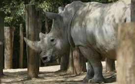 Yvelines: un rhinocéros blanc tué et sa corne tronçonnée par des braconniers au zoo de Thoiry