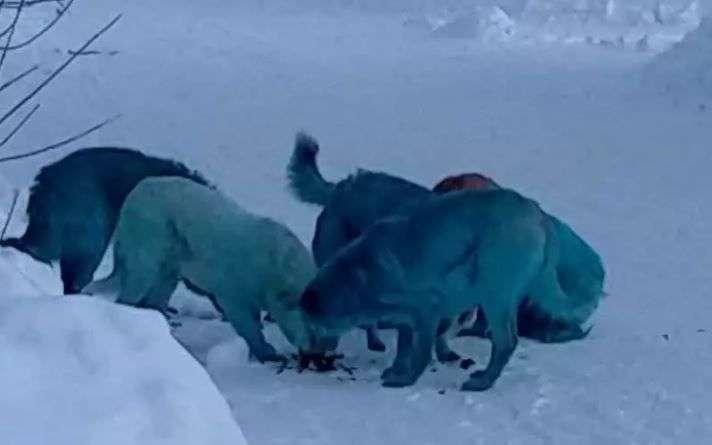 """Résultat de recherche d'images pour """"chiens bleu"""""""