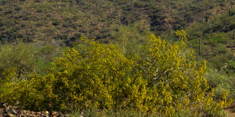 The creosote was in bloom everywhere.