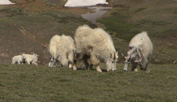 Bear-goats-shredding