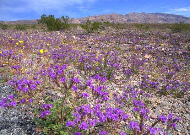 DV-field-purple-broad-001