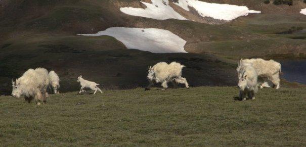 bear-goats-fight