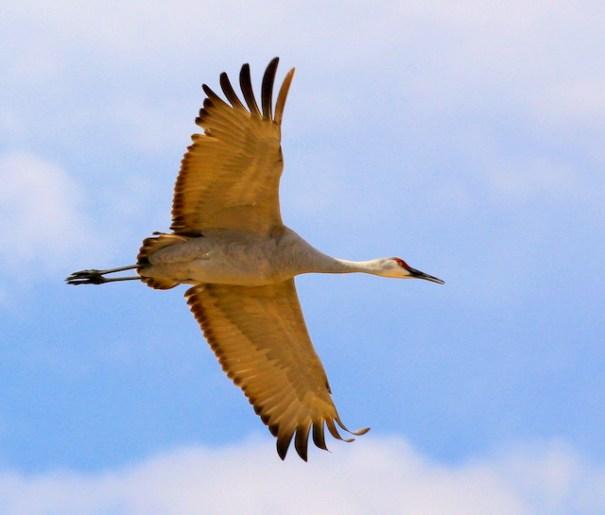 The Sandhill Cranes of Bosque del Apache NWR