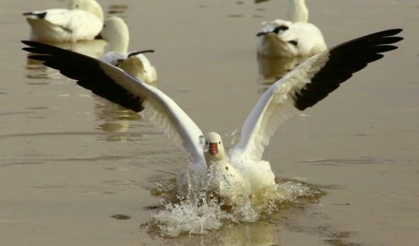 crns-goose-tchdwn