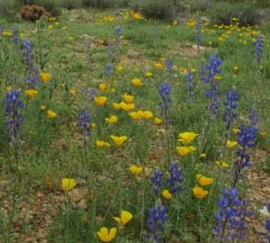 Wildflowers about 50 feet from my trailer near Phoenix