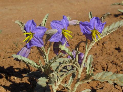 Prescott-Purple-Stars
