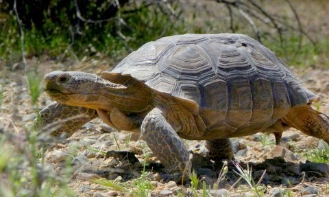 Every spring Pahrump is alive with wildlife! Wild horses come down from the mountains, jackrabbits are everywhere and you see many Desert Tortoise. I took this photo in April, 2011.
