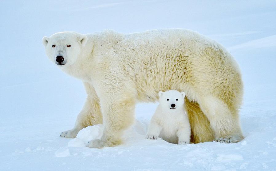 攝影師拍北極熊幼崽首次下海捕魚[組圖]_圖片中國_中國網