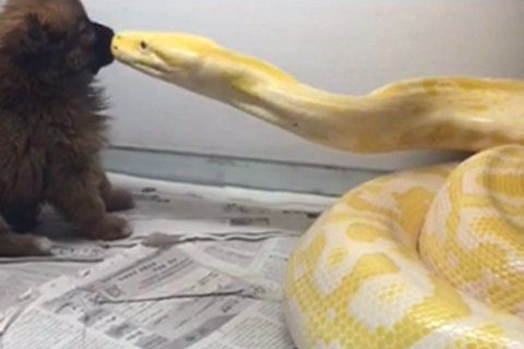 Video of python devouring poodle draws fire - China.org.cn