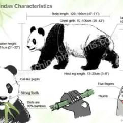 Panda Life Cycle Diagram Block And Circuit Wiring Diagrams Characteristics Appearance Of China Giant Pandas