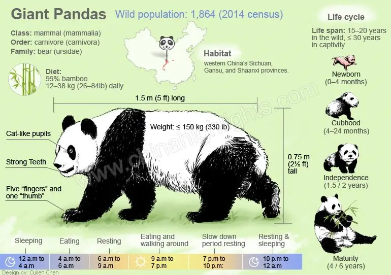 panda life cycle diagram audi a6 c6 brake light wiring giant pandas, all things you want to know about pandas of china