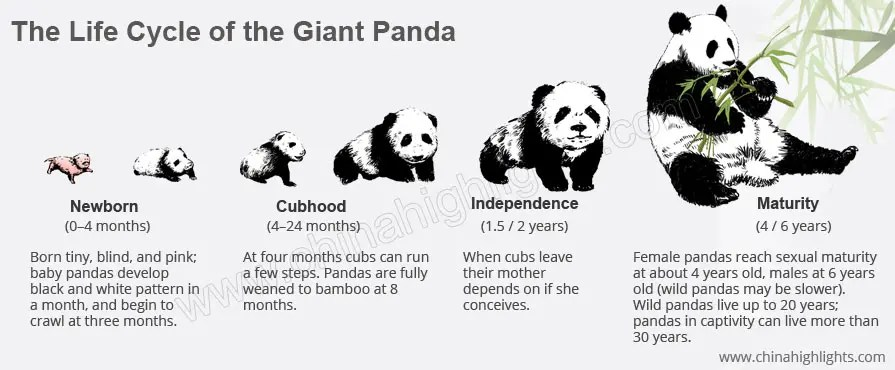 Life Cycle of a Giant Panda from Birth to Death