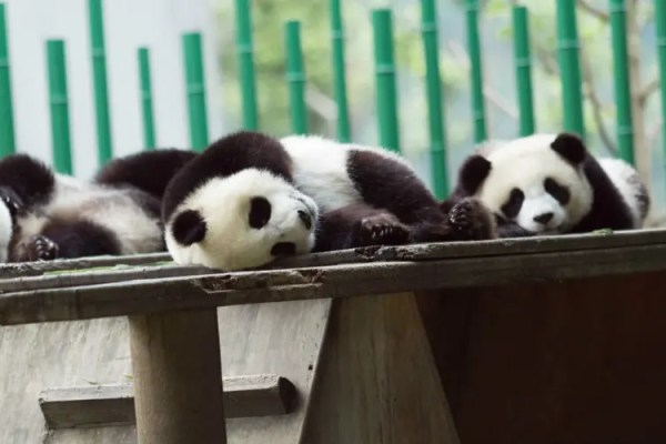 Top 8 Surprising Things You Didn't Know about Baby Pandas