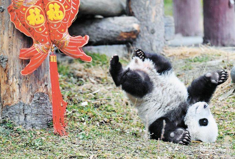 「中國大熊貓保護研究中心」臥龍神樹坪基地,大貓熊寶寶跌落平台萌翻眾人。(中新社資料照片)