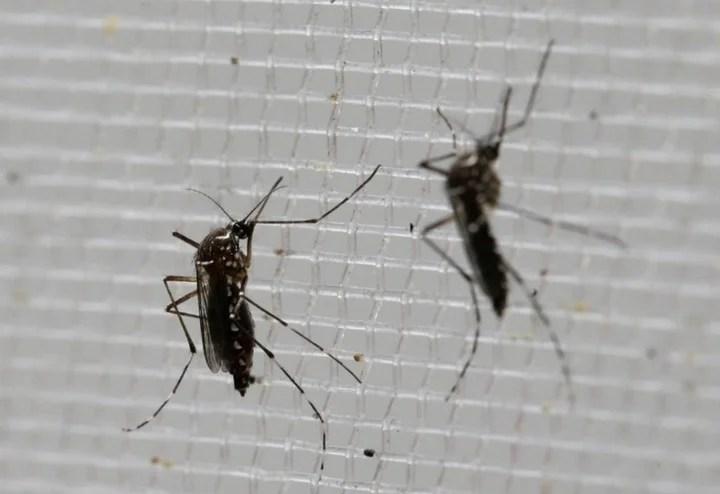 El mosquito Aedes aegypti es el principal transmisor de la fiebre amarilla y el dengue. Foto/AP