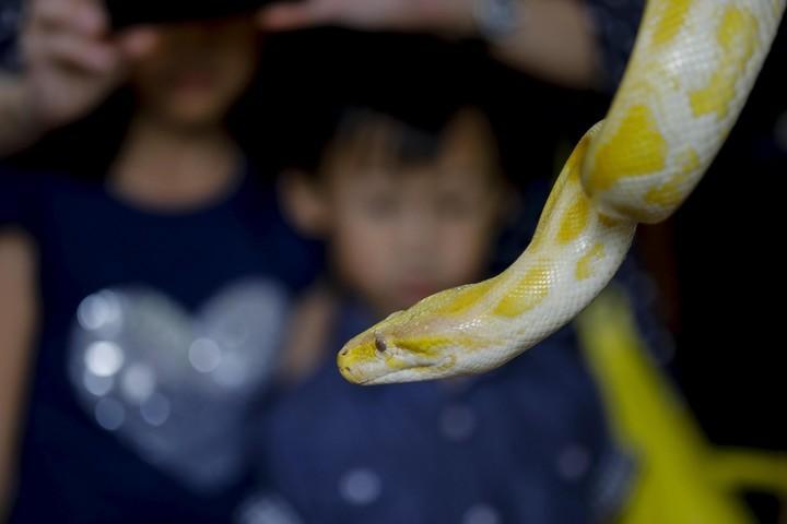 A python from Burma (EFE).