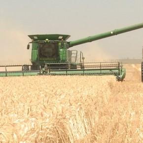 La cosecha de trigo, otra gran esperanza para obtener dólares