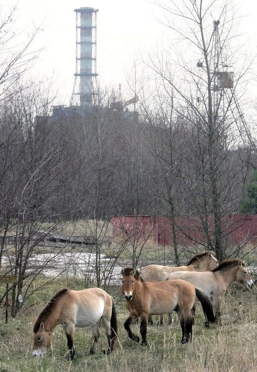 Caballos pastan cerca de la central nuclear de Chernobyl, en la zona de exclusión establecida después del accidente nuclear. /EFE