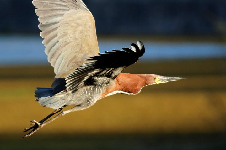 Bird watching in the Ecological Reserve.  Red nose.  It is in the Reserve all year round.  It is a heron and it feeds on fish and the Creole eel.  Photo: Simón Tagtachian