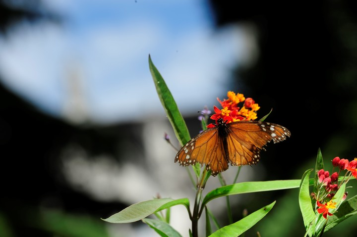 The monarch butterfly is one of the species that can be found in the City.  Photo Rubén Digilio