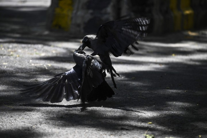Crow fight.  They are a threat to the historical buildings of Moscow.  Photo: AFP