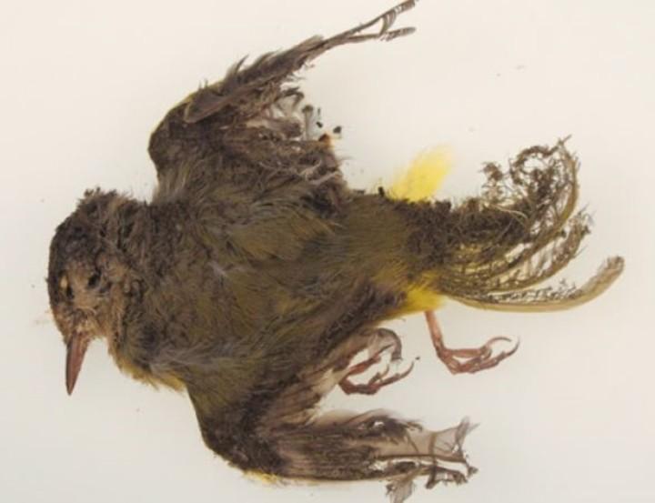 Los especialistas creen que los pájaros muertos podrían ser afectados por los incendios forestales de California y Oregon.