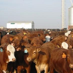 Claves para la detección del síndrome respiratorio bovino en los feedlots