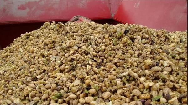 La calidad de los granos de soja se deterioró por las intensas precipitaciones.