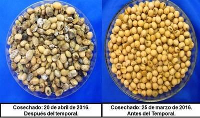 Esta es la diferencia entre la soja trillada antes y después de las lluvias de abril.