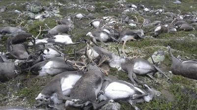 Los restos de los renos en la meseta de Hardangervidda (AFP)