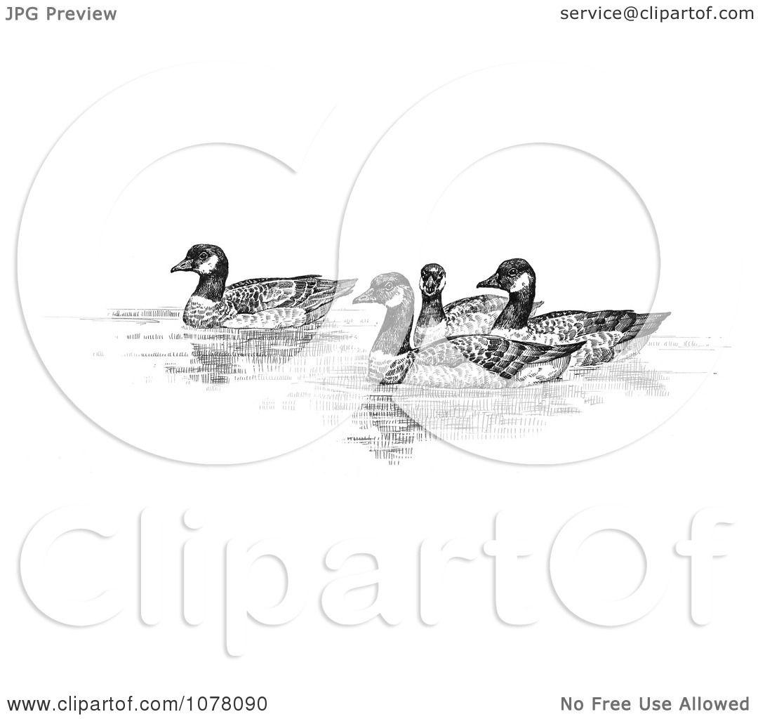 Aleutian Canada Geese Branta Canadensis Leucognaphalus