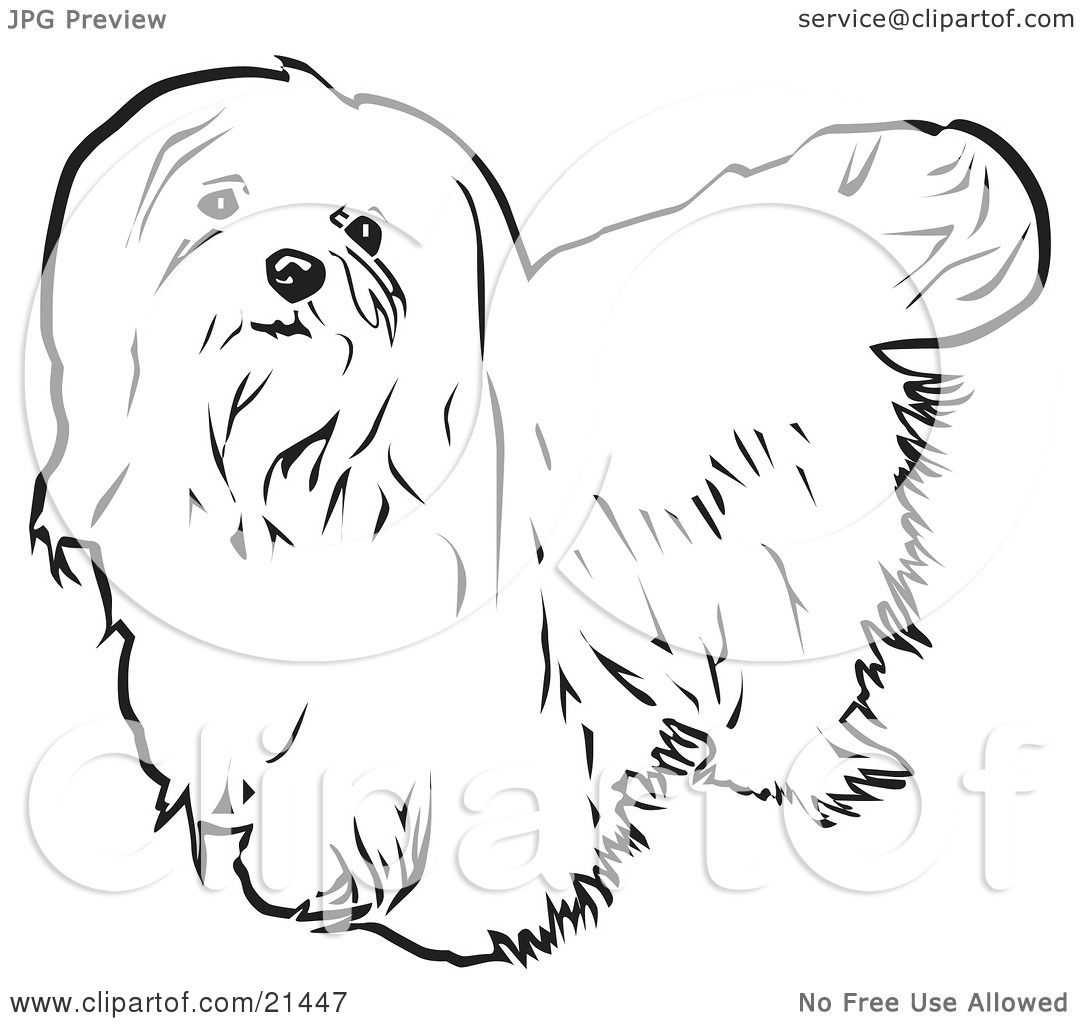 hight resolution of clipart illustration of a long haired maltese dog looking upwards on a white background by