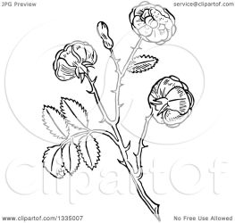 rose plant woodcut illustration clipart aromatic herbal royalty picsburg vector