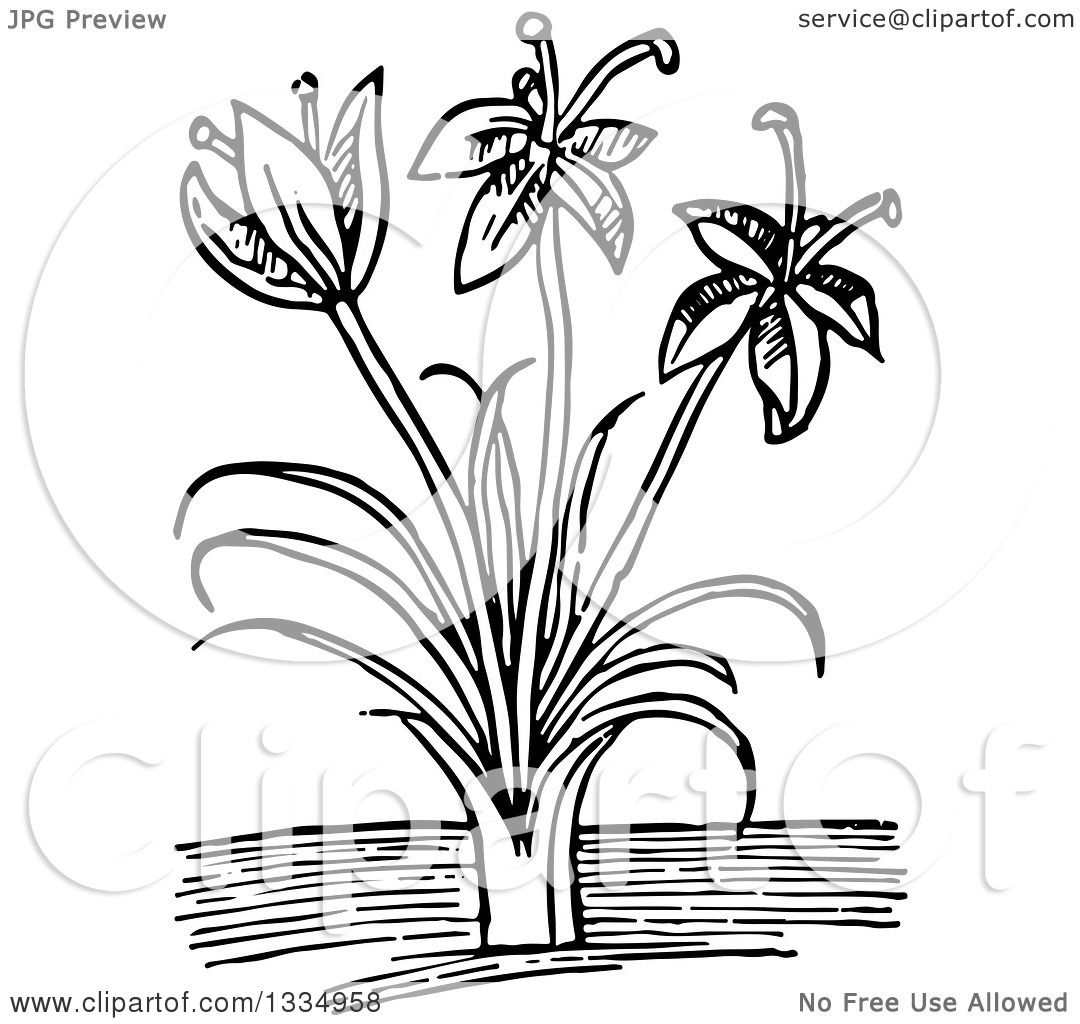 Clipart of a Black and White Woodcut Herbal Saffron Crocus