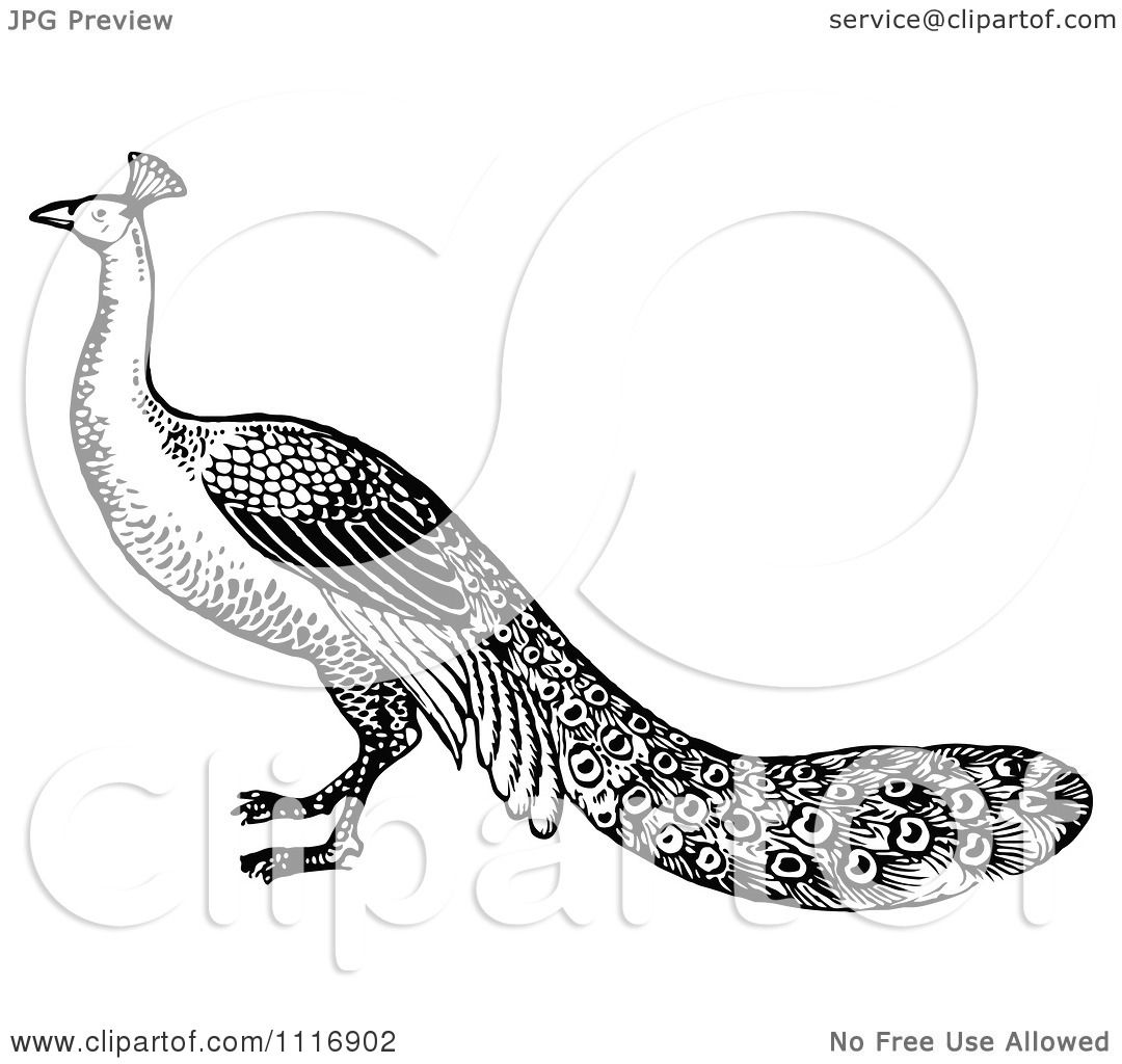 Clipart Of A Retro Vintage Black And White Peacock