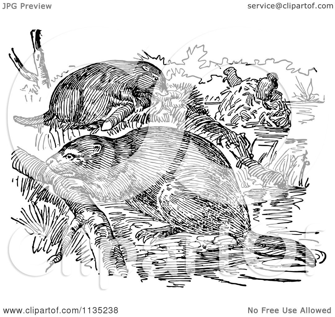 Clipart Of Retro Black And White Beavers And Their Dam
